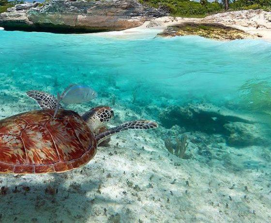 черепаха на Карибских островах